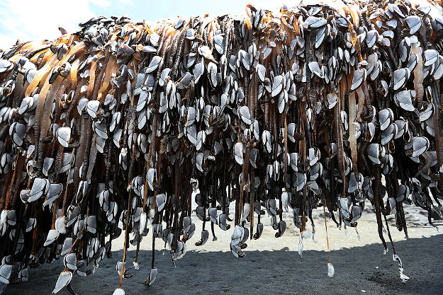 A large driftwood tree covered in gooseneck barnacles sits in the sun on Auckland's west coast.