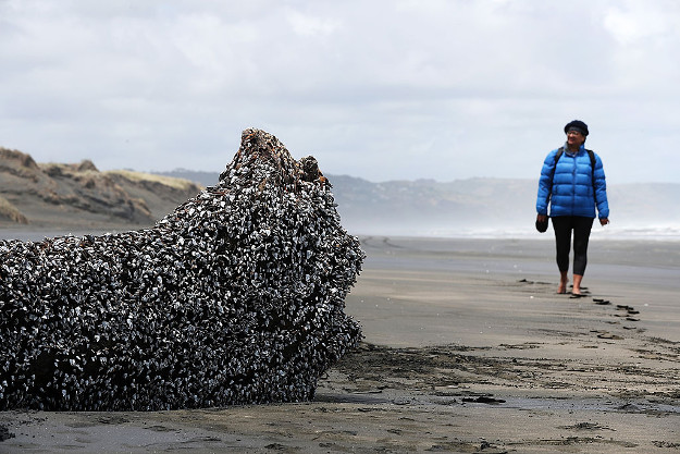 Muriwai local Rani Timoti walks to see a large driftwood tree covered in gooseneck barnacles on Auckland's west coast.