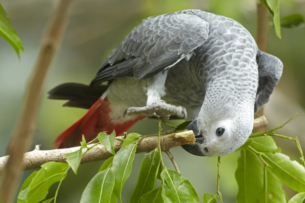 The African grey parrot is now on the endangered list.