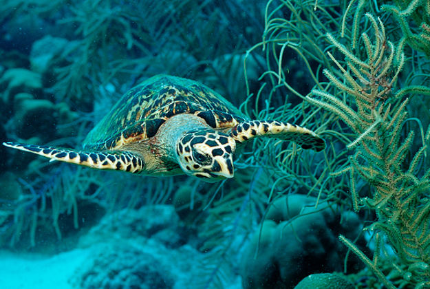 The endangered hawksbill turtle is making a comeback in Belize.