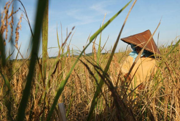 Harvesting rice in northern Thailand.