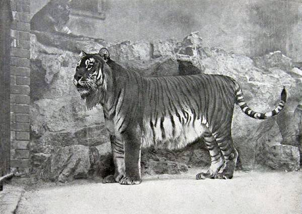 The extinct Caspian Tiger pictured in 1899: Image: Berlin Zoo