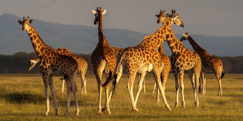 conservationists warn giraffes are facing a quotsilent