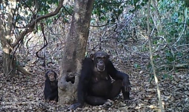 Chimpanzees' drinking behaviour has been caught on video in the Ivory Coast. Image: Juan Lapuente, Comoe Chimpanzee Conservation Project