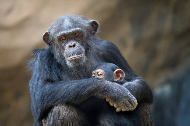 Chimpanzees' drinking behaviour has been caught on video in the Ivory Coast. Image: Eric Lowenbach/Getty Images