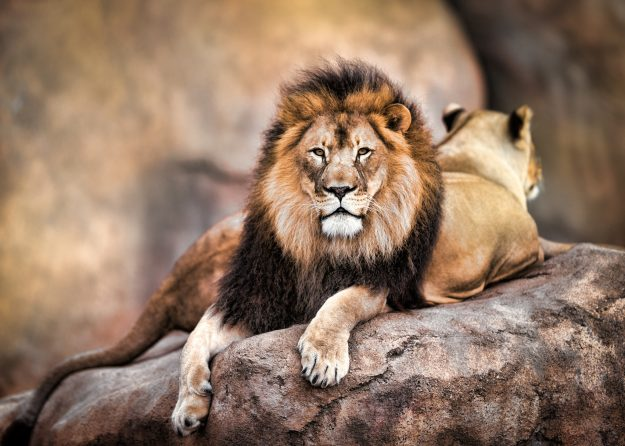 A male lion looking at the camera with a female in the background. Image: Todd Ryburn Photography