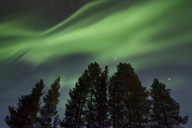 Amazing Northern Lights (Aurora borealis) display over pine trees in night skies over Sweden.