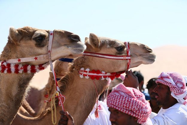 Camels prepare to race.