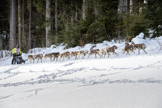 A line of dogs pull a sled through the snow of the Black Forest.