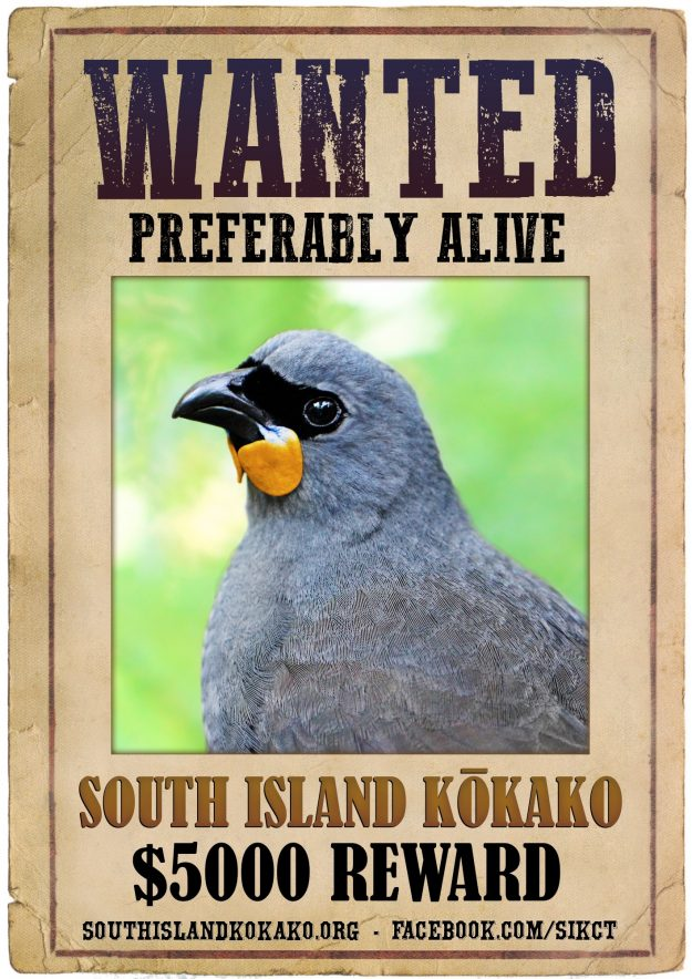 New Zealand is offering a reward for sighting of a rare or possibly extinct bird. Image: South Island Kokako Charitable Trust
