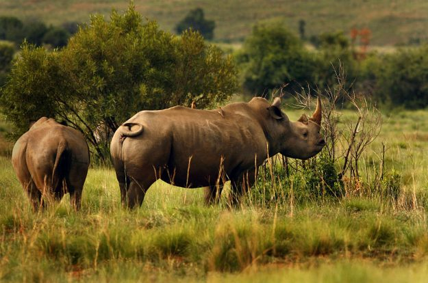 ––Rhinoceros sighting are common within Pilanesberg National Park, which is one of the largest parks in southern Africa at 500 square kilometres.