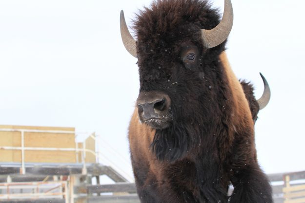 The bison run free in their new habitat.