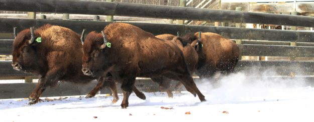 A plains bison herd have come back from near extinction to have a presence across every state in the USA.