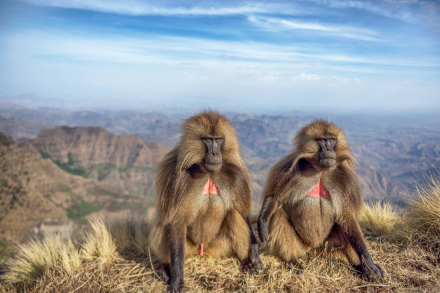 At the highlands of Ethiopia, those amazing creatures live. A few days of hiking in the Semien mountains of Ethiopia takes you to their home. It was on that hike that I taught myself to take pictures with 24mm lens, and those baboons were the best models, I got in as close as they let me and took this picture, looks like they're just sitting there - thinking about life.