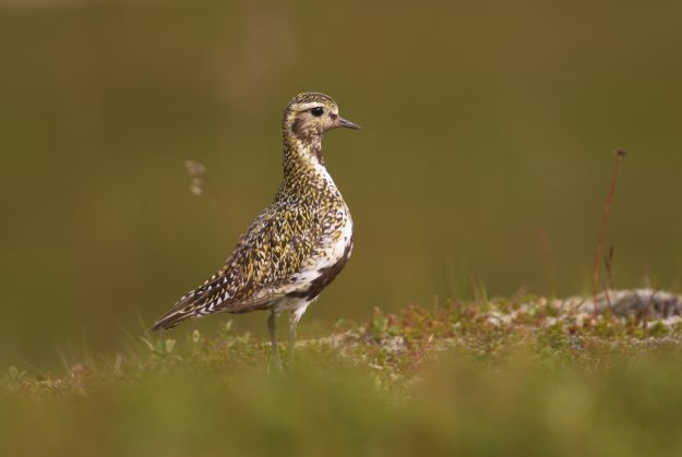 Golden plover (Pluvialis apricaria) in summer plumage, Iceland.
