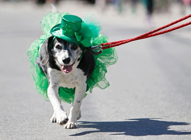 Mona the dog is dressed for the St. Patrick's Day festivities as she marches in the parade in Portland, USA.