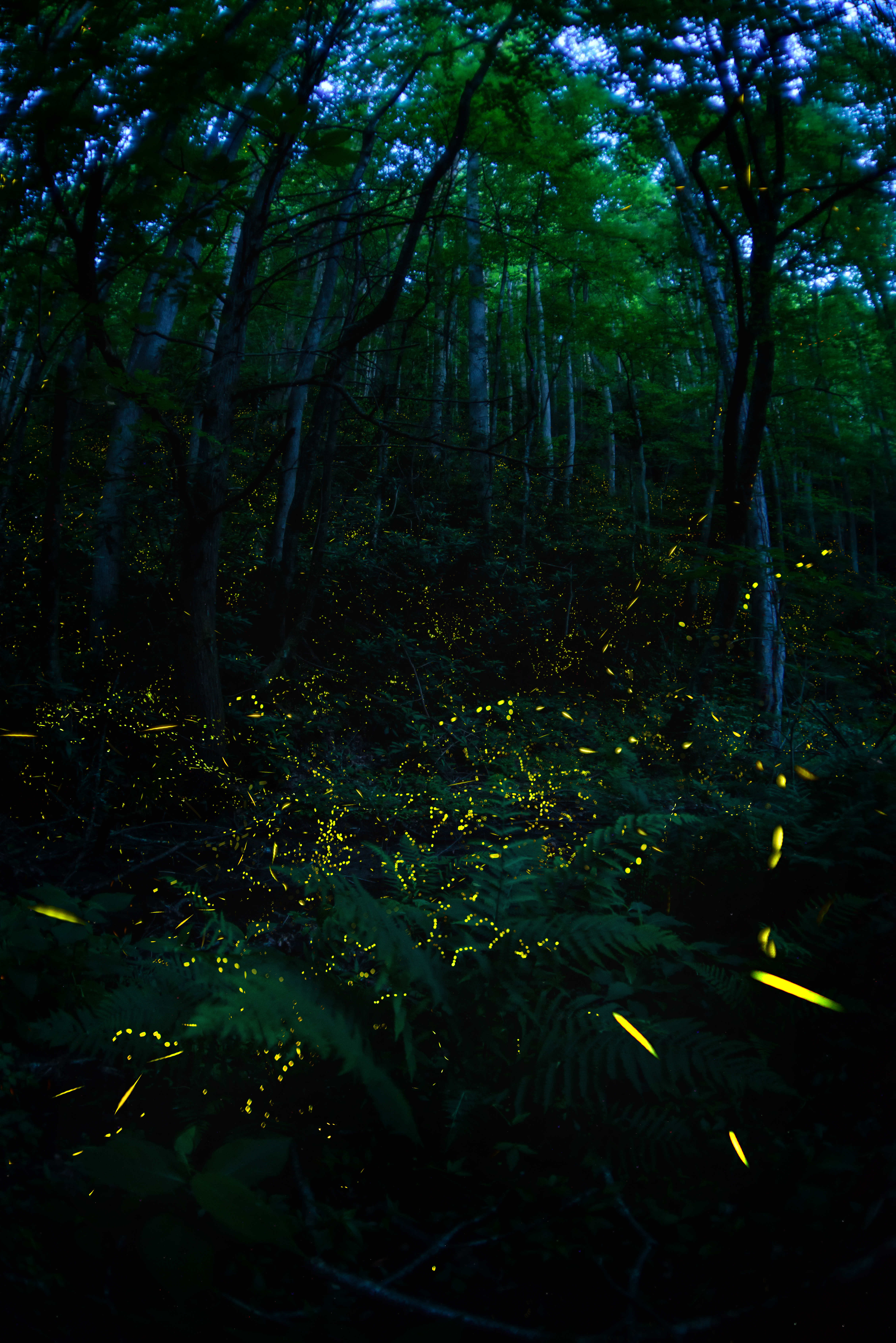 Synchronous fireflies in Great Smoky Mountains, in Tennessee.