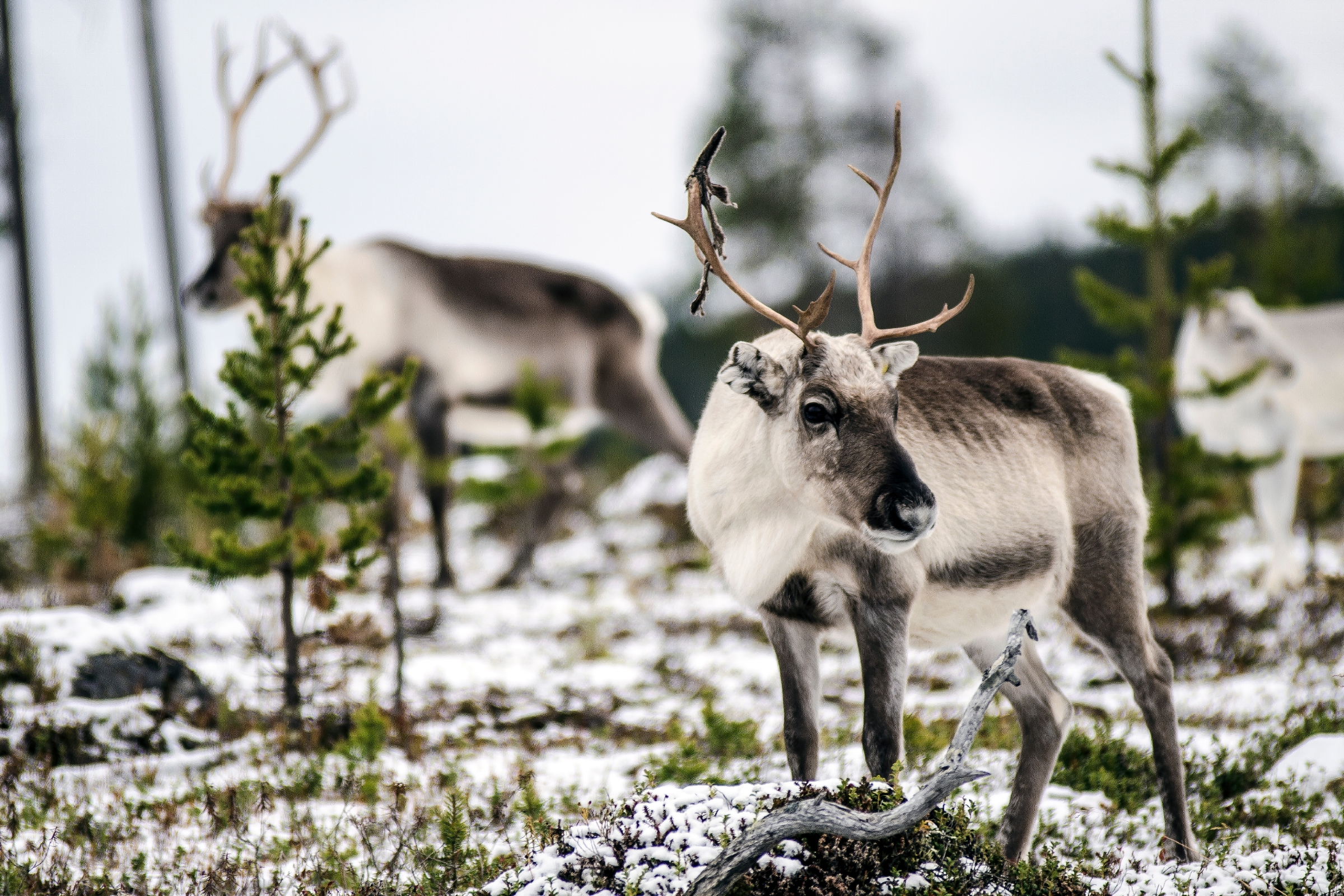 Reindeer of a Sami herd in Finnish Lapland. Image: David Williams - www.hybriddave.com/Getty Images