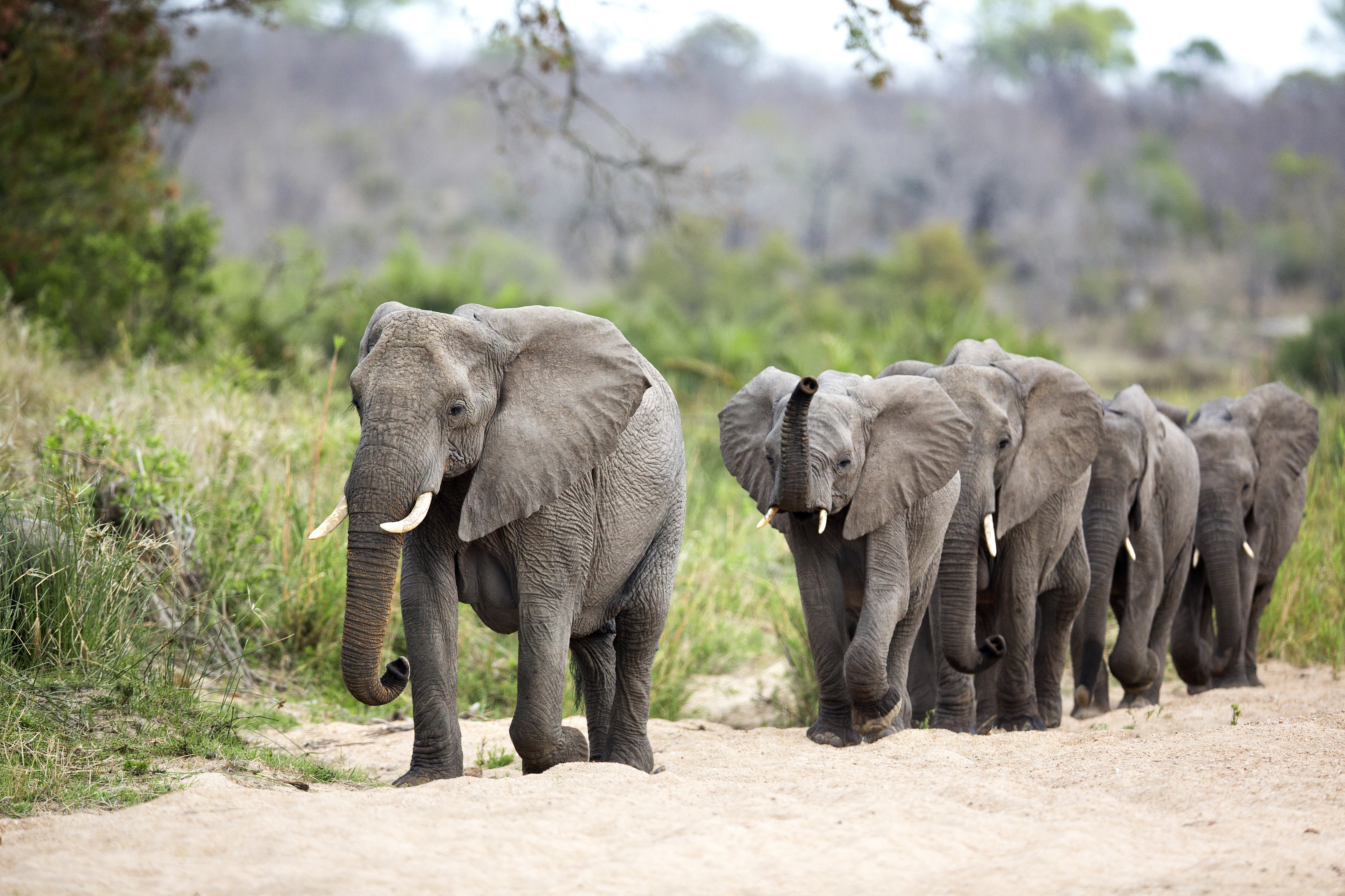 Herd of elephants walking on trail in Kruger Park, South Africa.