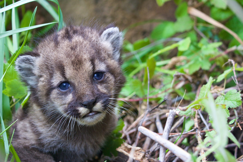 This mountain lion kitten was born in Santa Monica mountains. Image: National Park Services