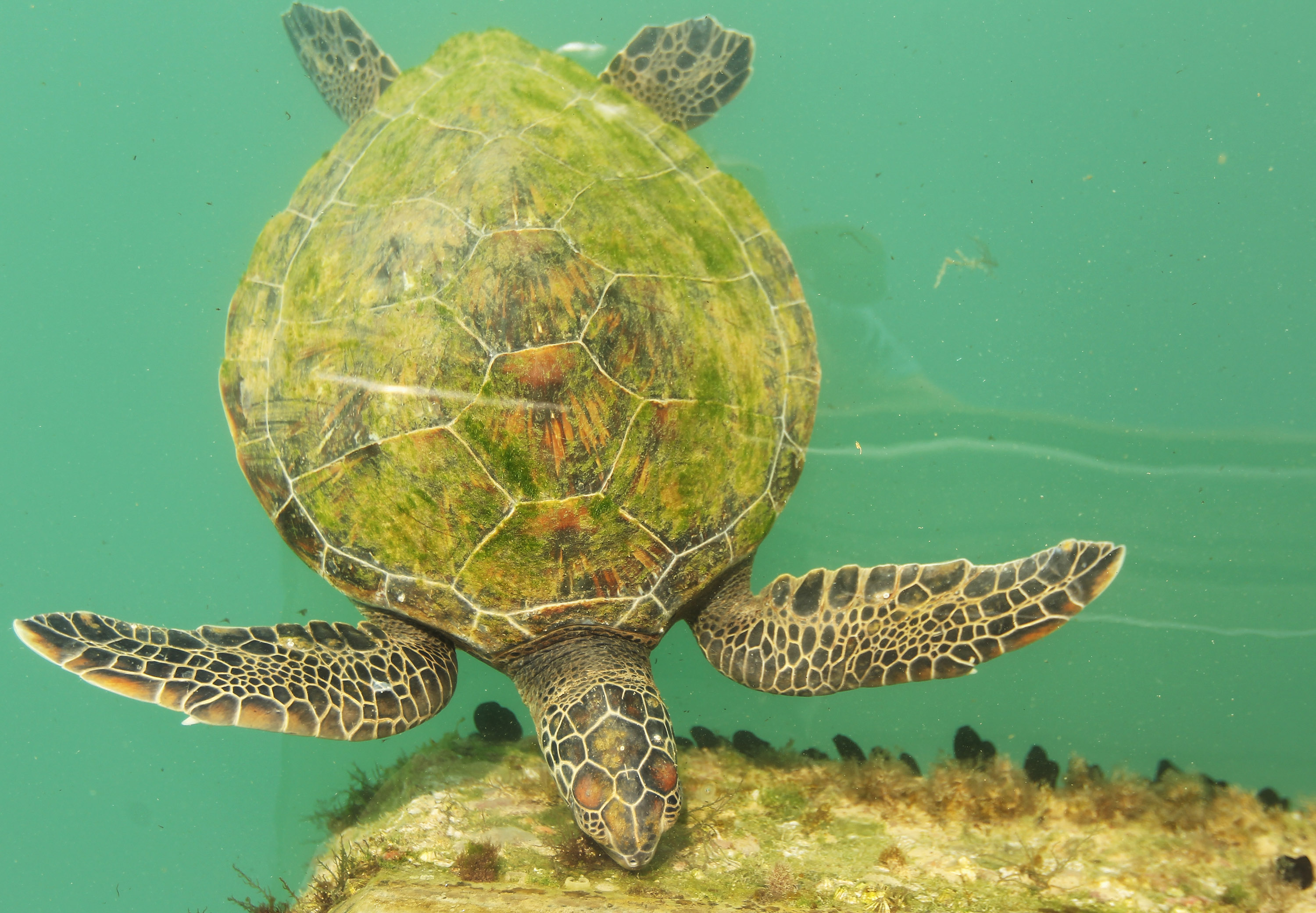 A turtle swims by in Muscat, Oman.