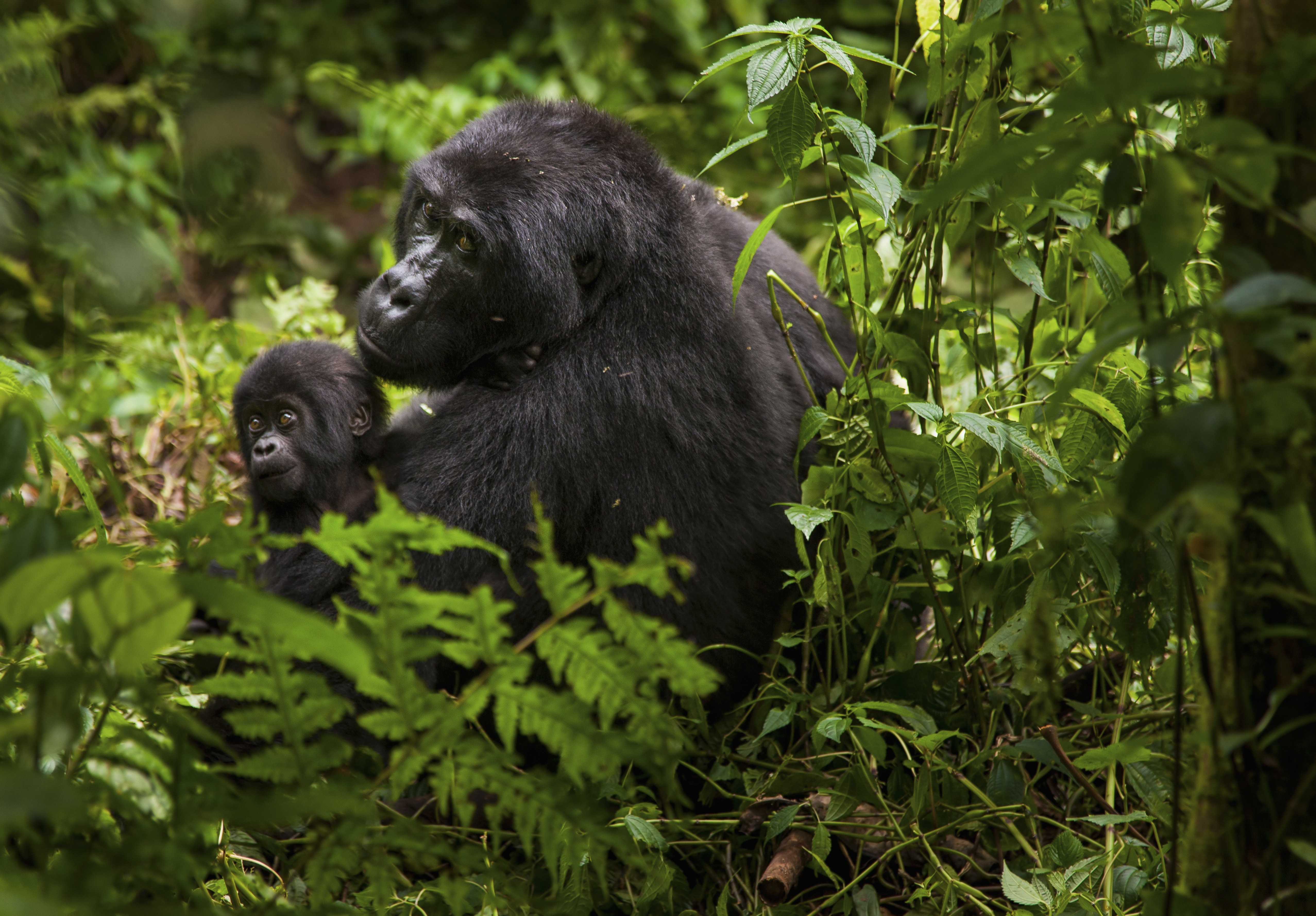 A mountain gorilla and a baby in Volcanoes National Park, Rwanda.