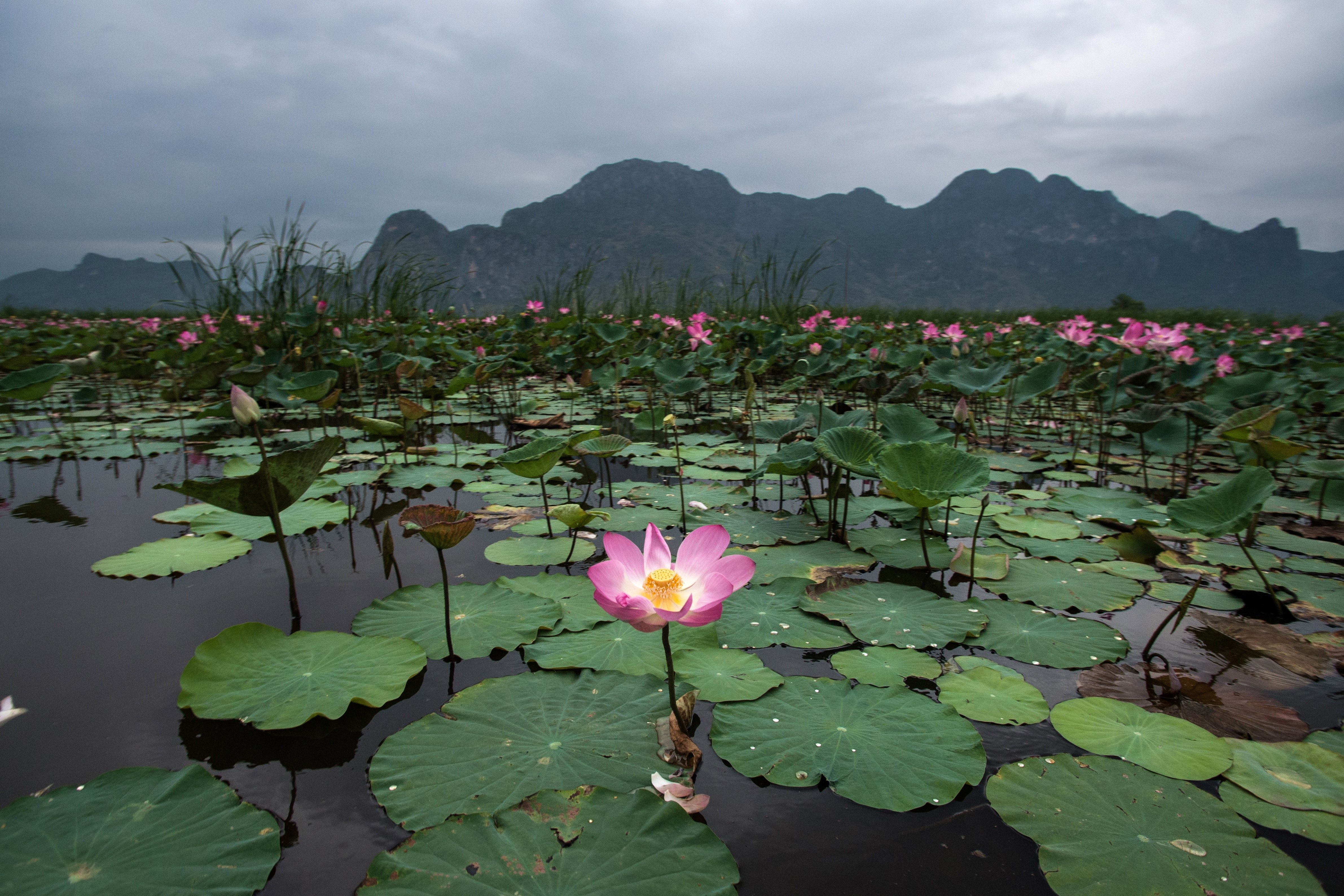 Thousands Of Lotuses Bloom On A Lake In Thailand