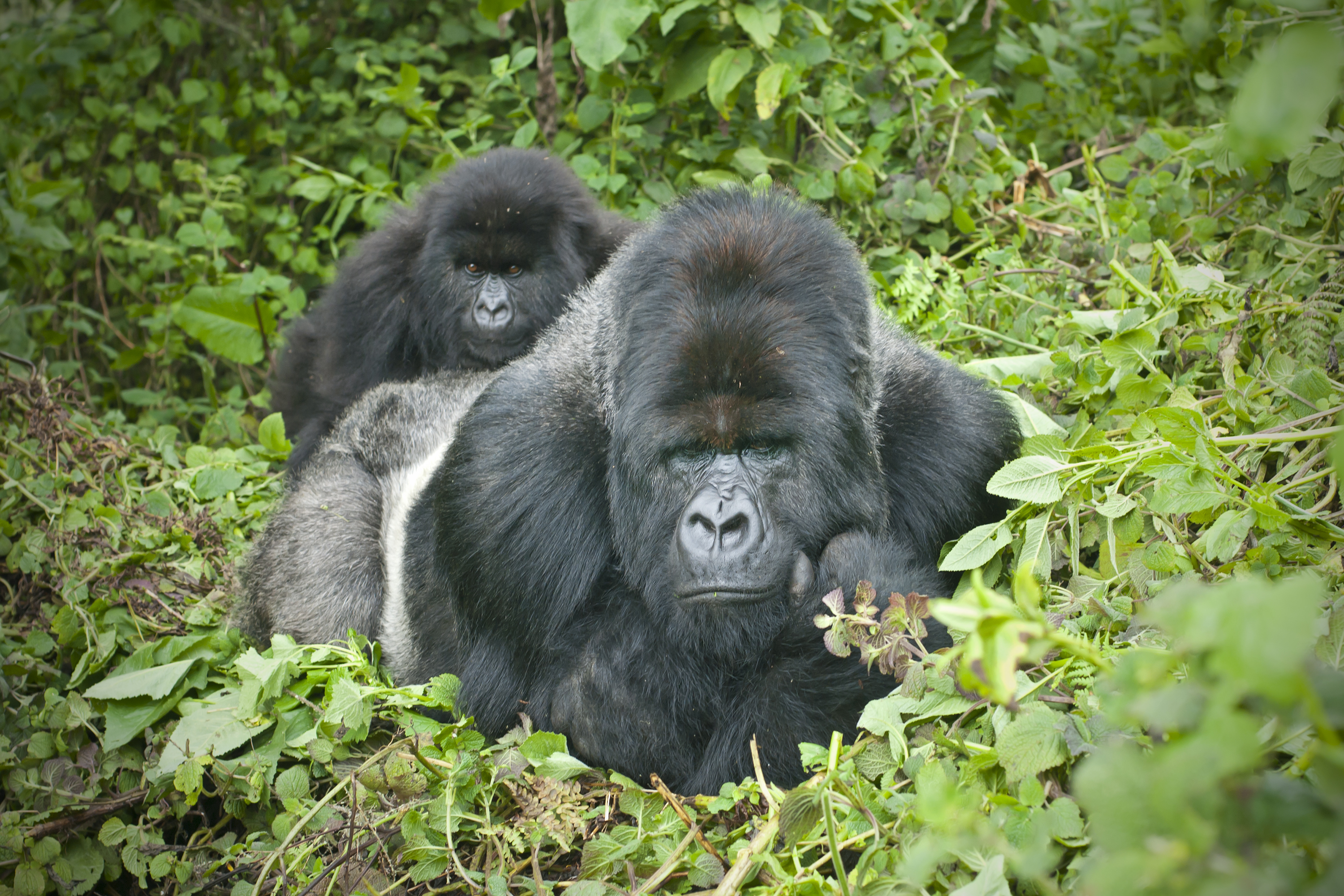 A dominant male (Silverback) Mountain Gorilla (gorilla beringei beringei). The silverback is the leader of the Susa-group. One of his juvenile sons is lying on his back.