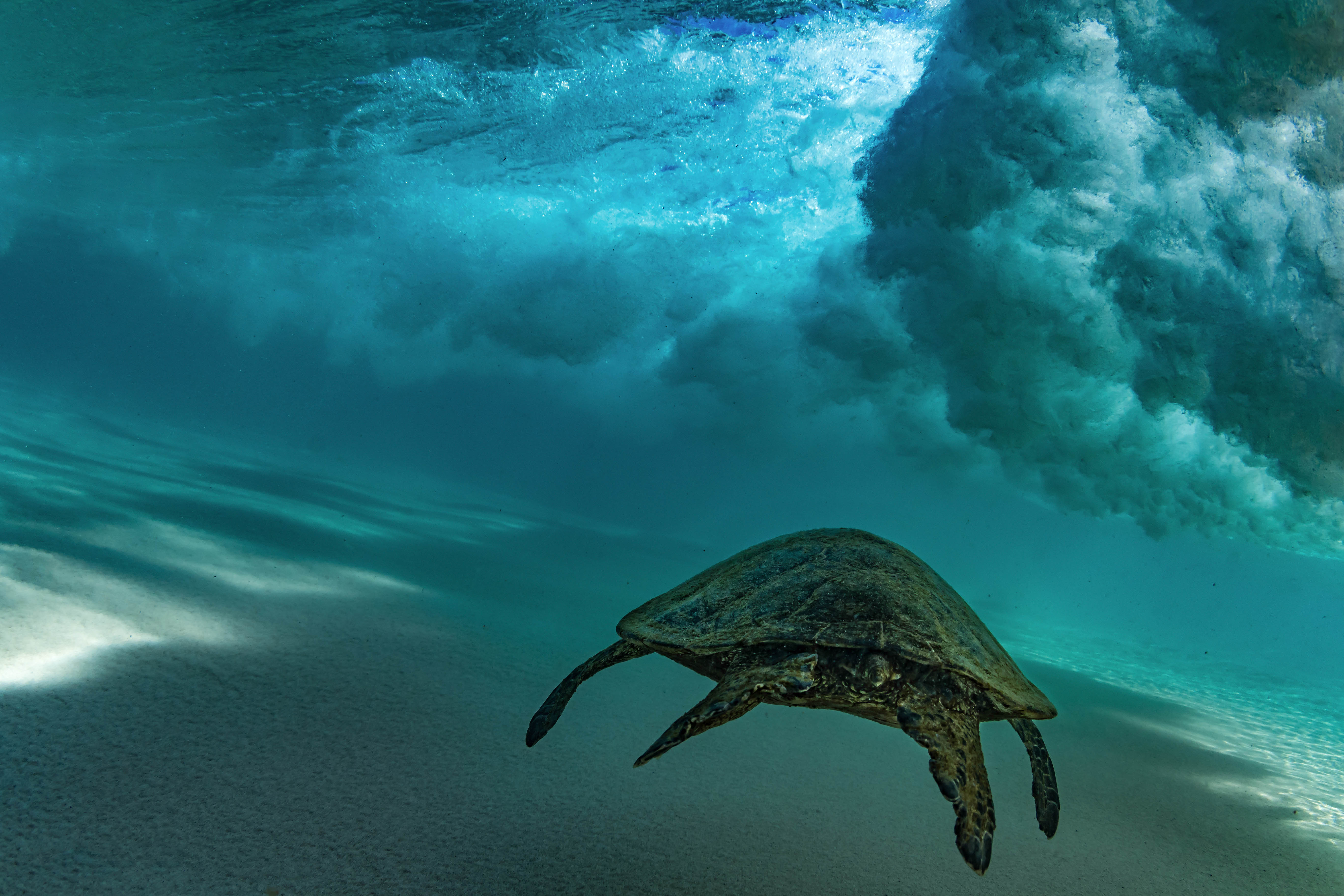 Sizeable turtles often get caught up in a wave .