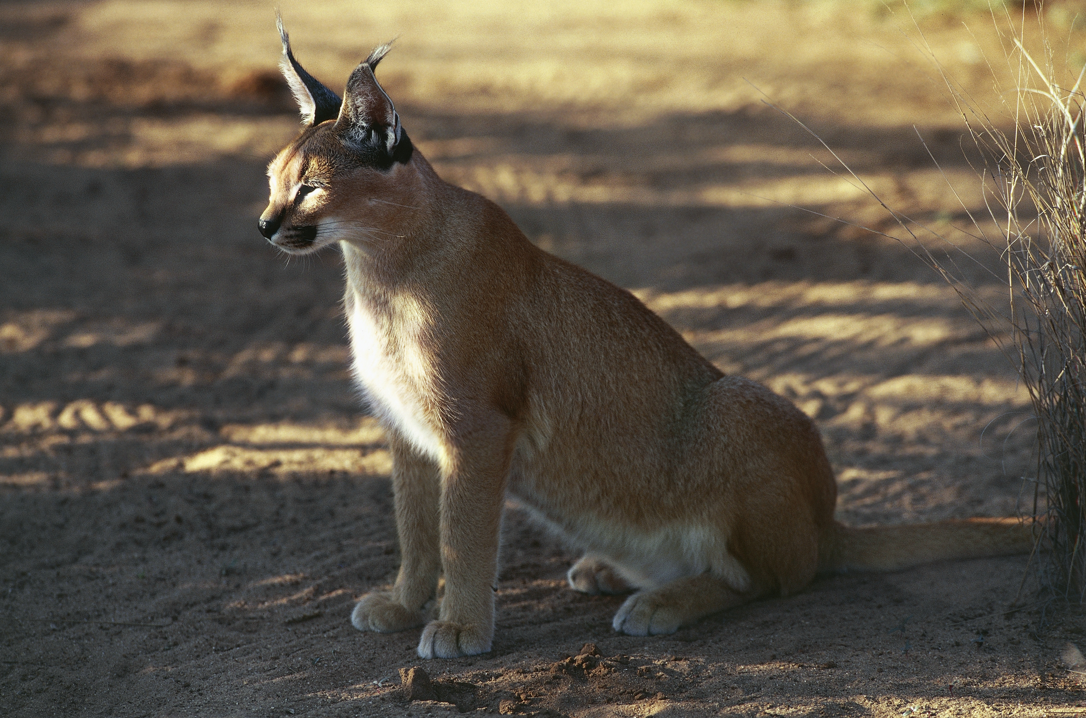 Caracal Image by DeAgostini/Getty Image)