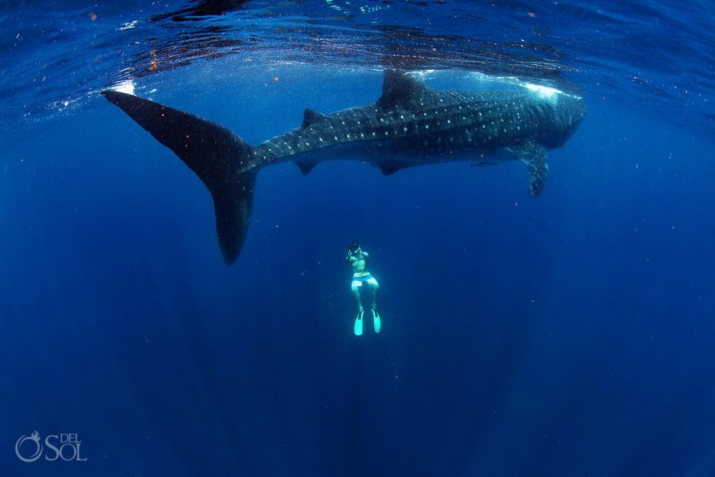 This is the time of year you can swim with whale sharks in Cancun.