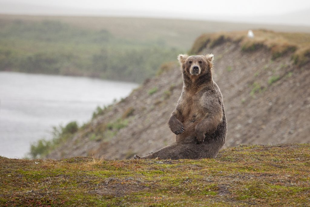 This female grizzly bear won't be short of friends in Yellowstone.