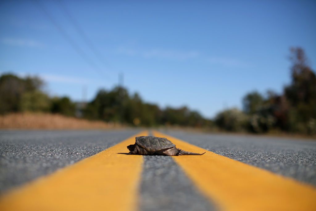 A Snapping Turtle sits in the middle of the road.