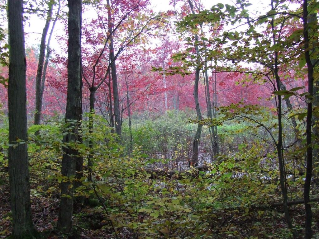 Fontenac Arch's Red Maple Swamp