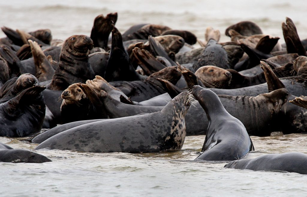 Gray seal numbers rise in New England