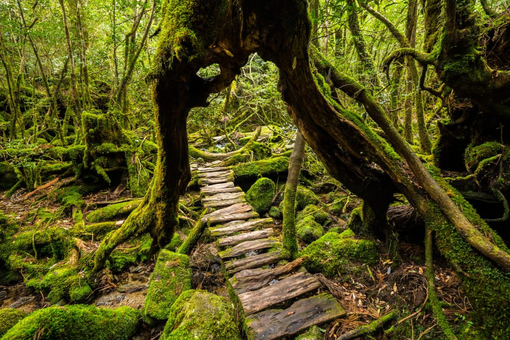 Forest walkway that goes under a giant cedar tree in Kyushu.