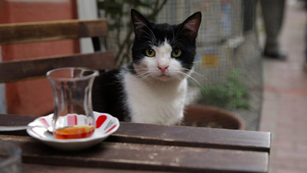 A Turkish cats sits at a table.
