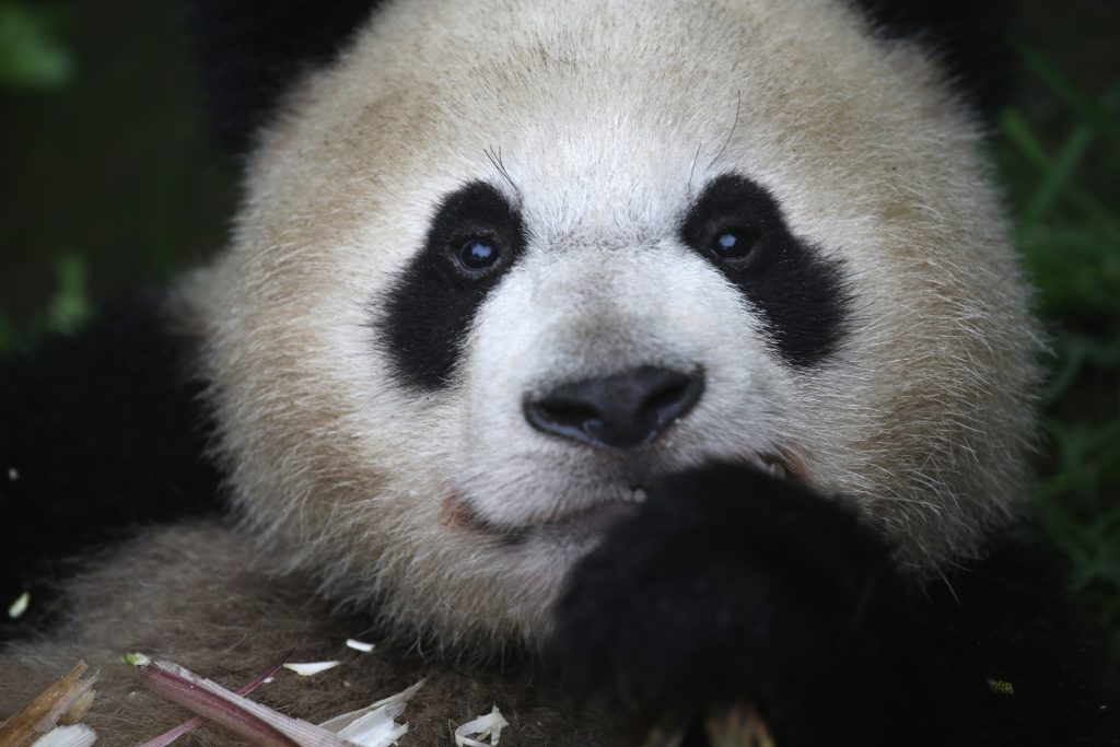 A giant panda chews on bamboo at a panda research base