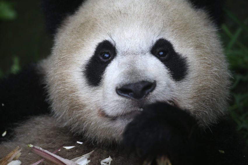 China Announces A New Panda Route For Tourists