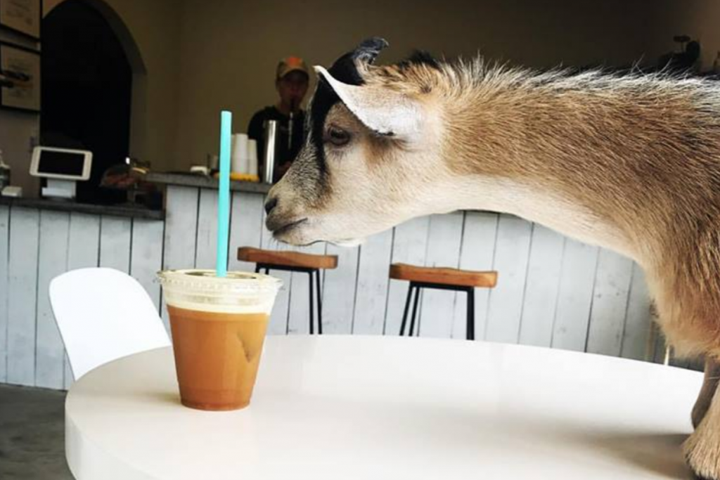 Butters the goat is the mascot of the Civil Goat Coffee Co.