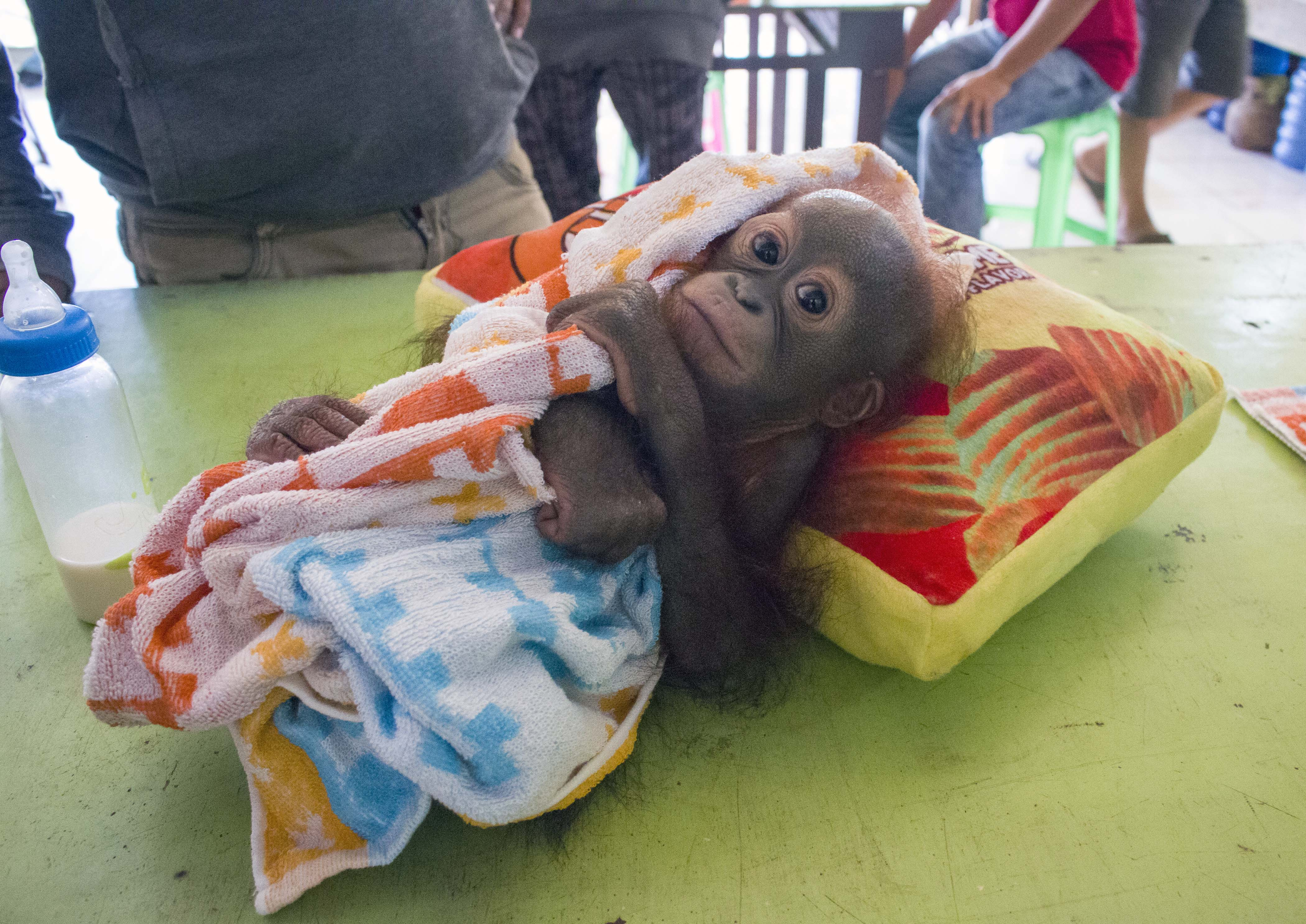 An Orphaned Orangutan Graduates From Rescue Centre Pre School