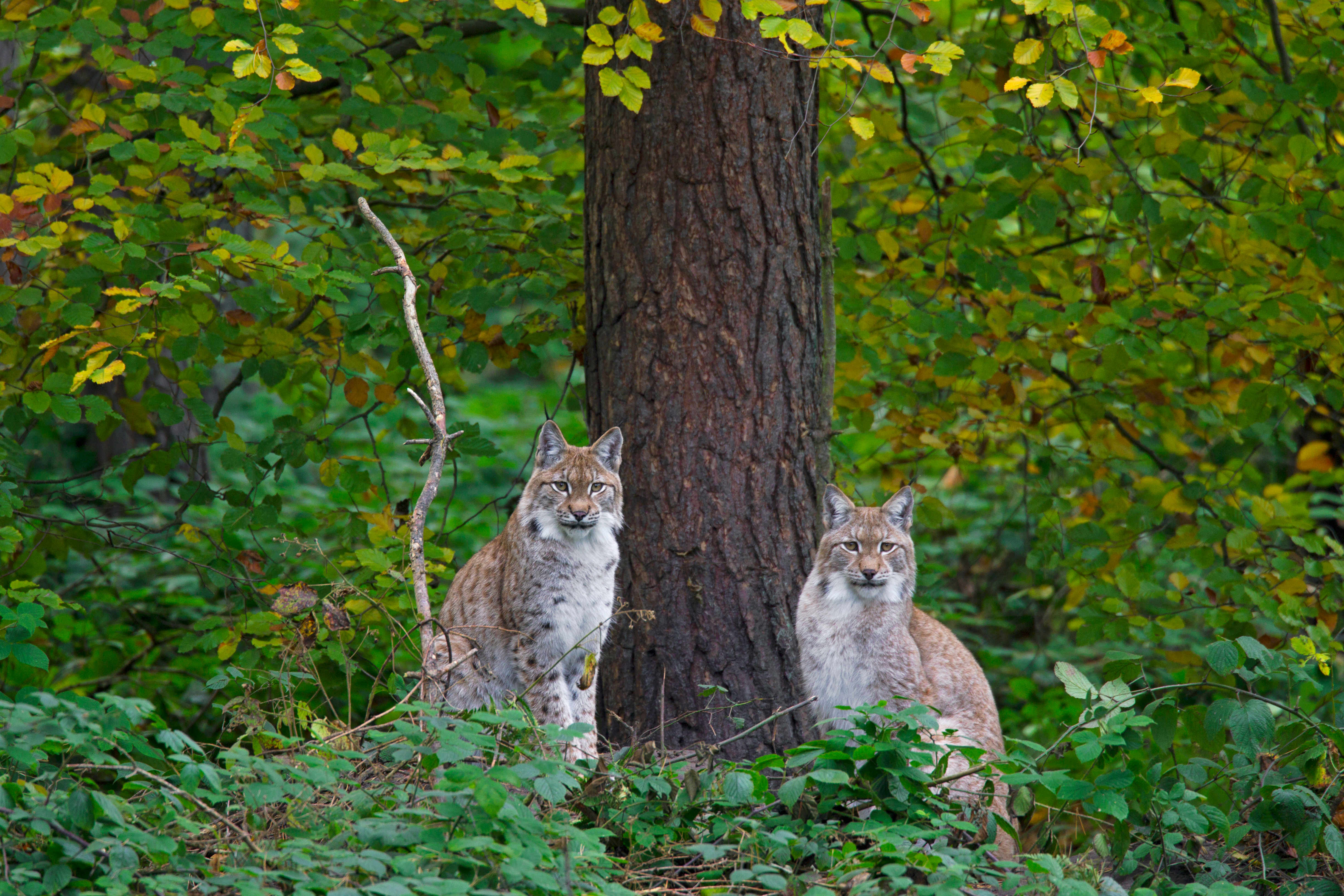 Pair of lynx in a German forest