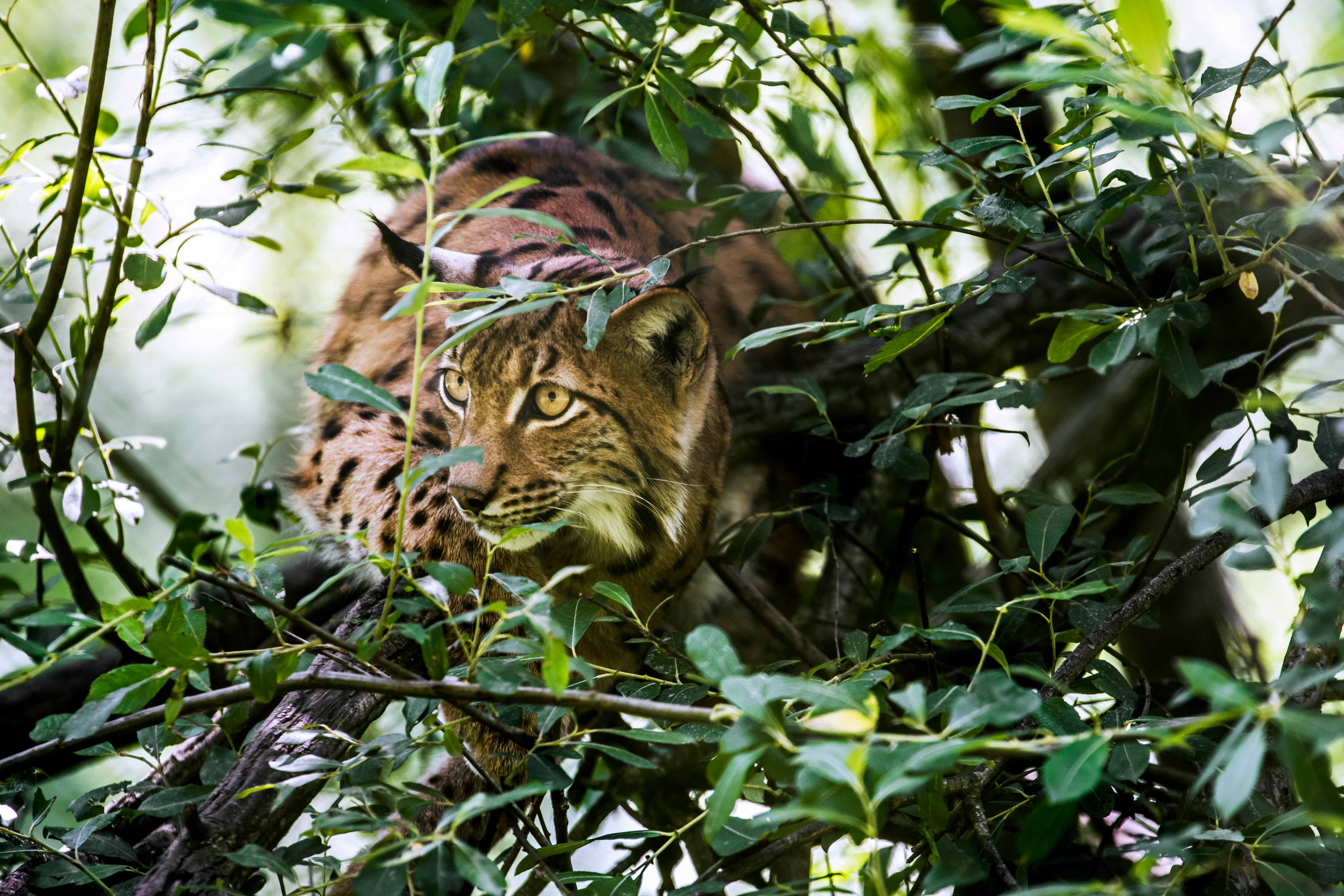 UK conservationists want to bring the lynx back to Northumberland