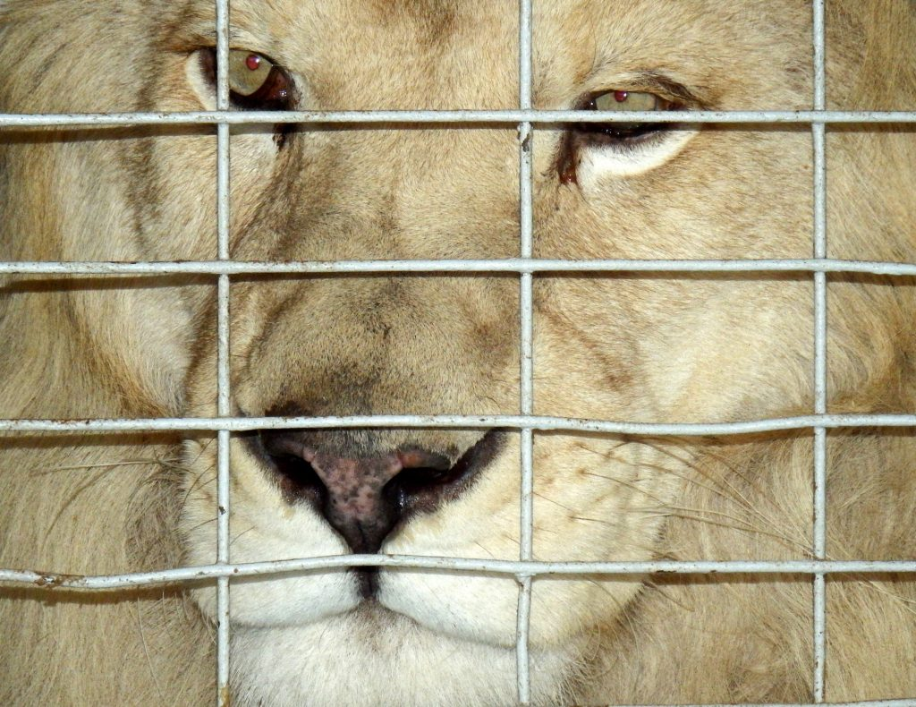 Slovakia moves to ban performances by circus animals. Image: Japatino
