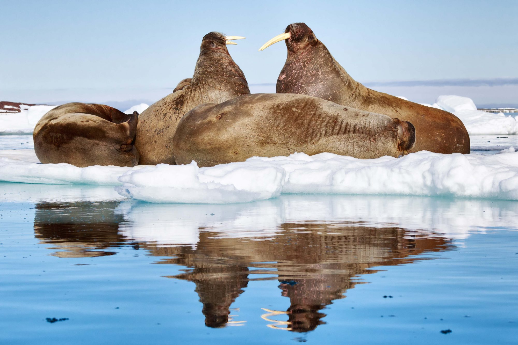 A ten-foot-long walrus sleeping on the ice with a flipper resting on its stomach whilst its pals huddle together to keep warm on another block of ice.