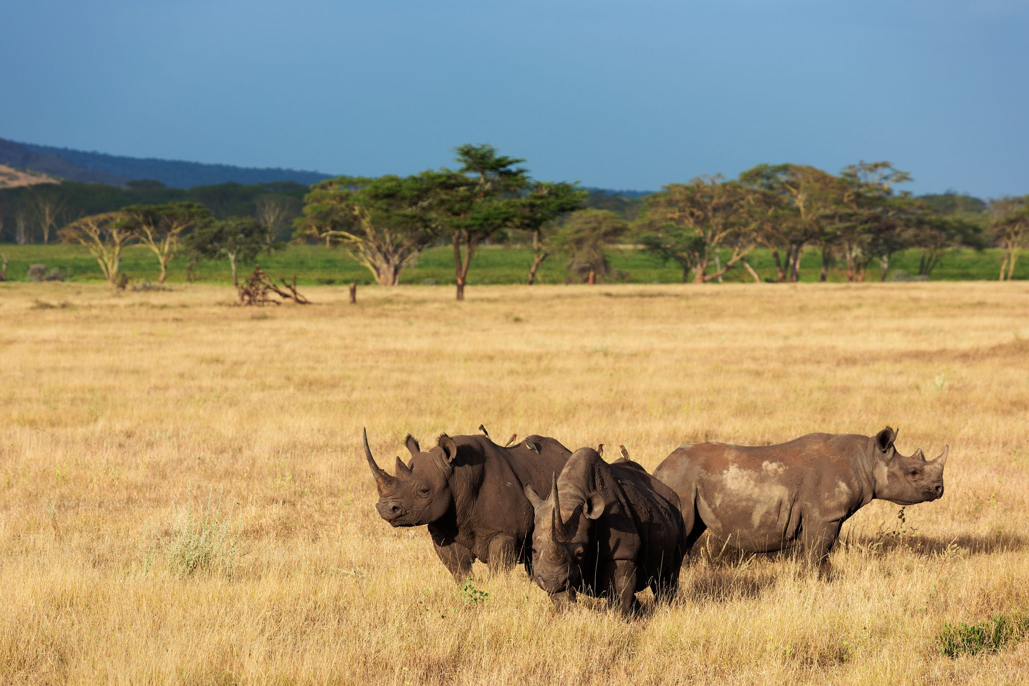 The Lewa Wildlife Conservancy in Kenya is home to 165 black and white rhinos.