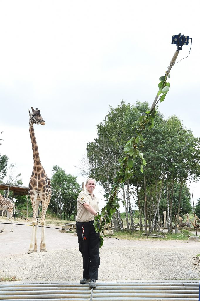 A Chessington zoo keeper takes a selfie with a giraffe using a 6 metre long selfie stick. Image: Chessington World Of Adventures