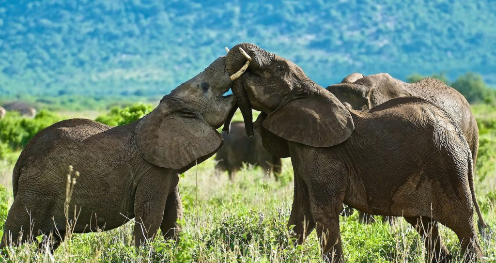 Two young elephants from the herd play to test their strength.