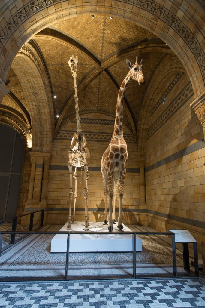 The giraffe is one of the star displays on the western side of the hall. Image by Trustees of NHM