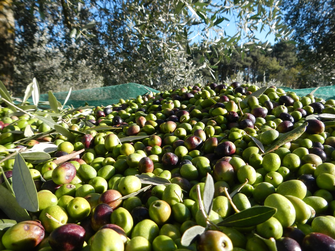 Olives ready to be pressed in Tuscany.